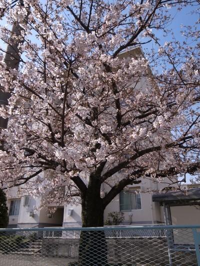 Sakura43