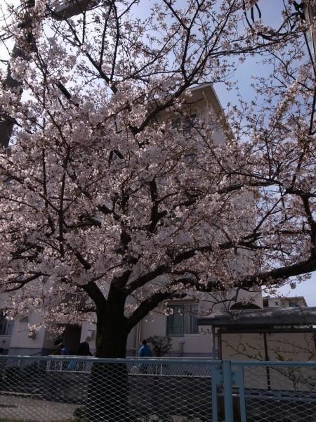 Sakura44