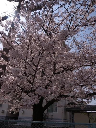 Sakura461