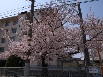 Sakura462