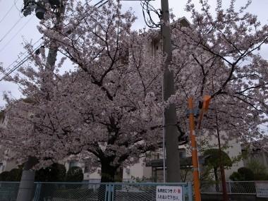 Sakura47a