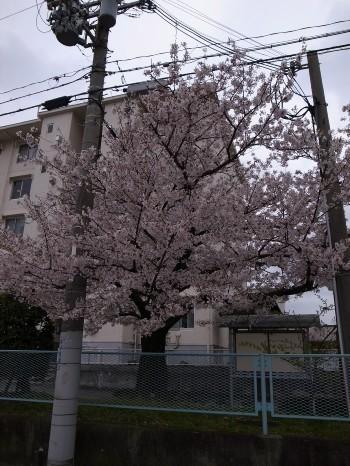 Sakura47b