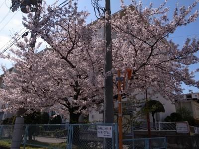 Sakura48a