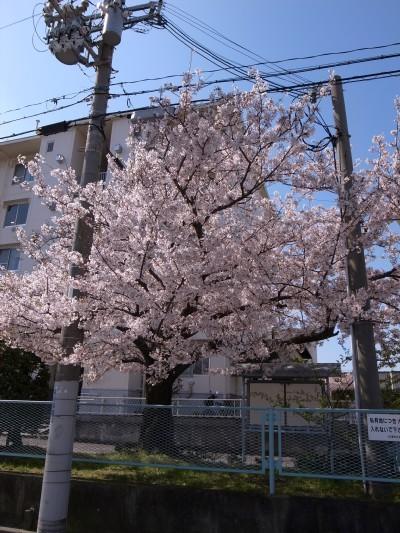 Sakura48b