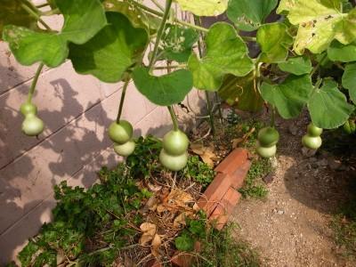 A_gourd16