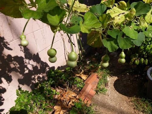 A_gourd17