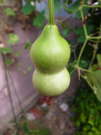 A_gourd21c
