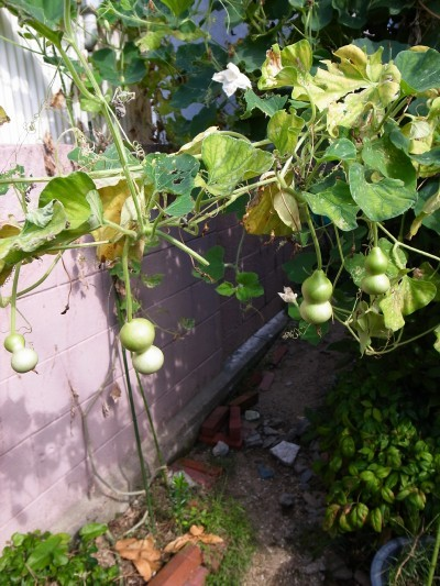 A_gourd23a