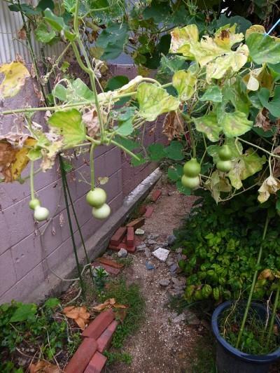 A_gourd26a