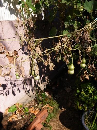A_gourd30a