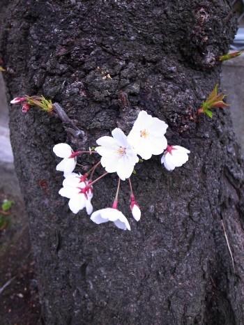 Sakura2011d