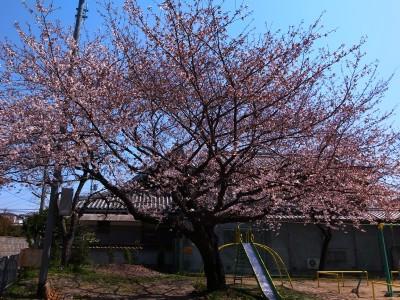 2012sakura11